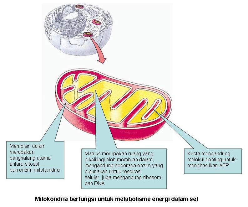 Image result for Gambar Mitokondria